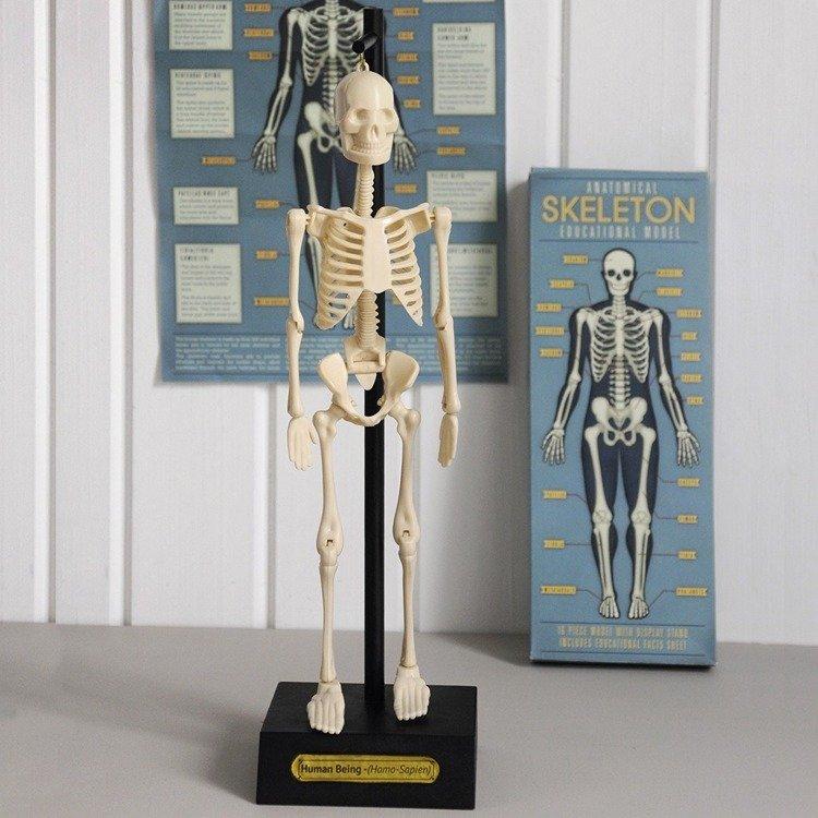 Anatomiczny model szkieletu | Rex London